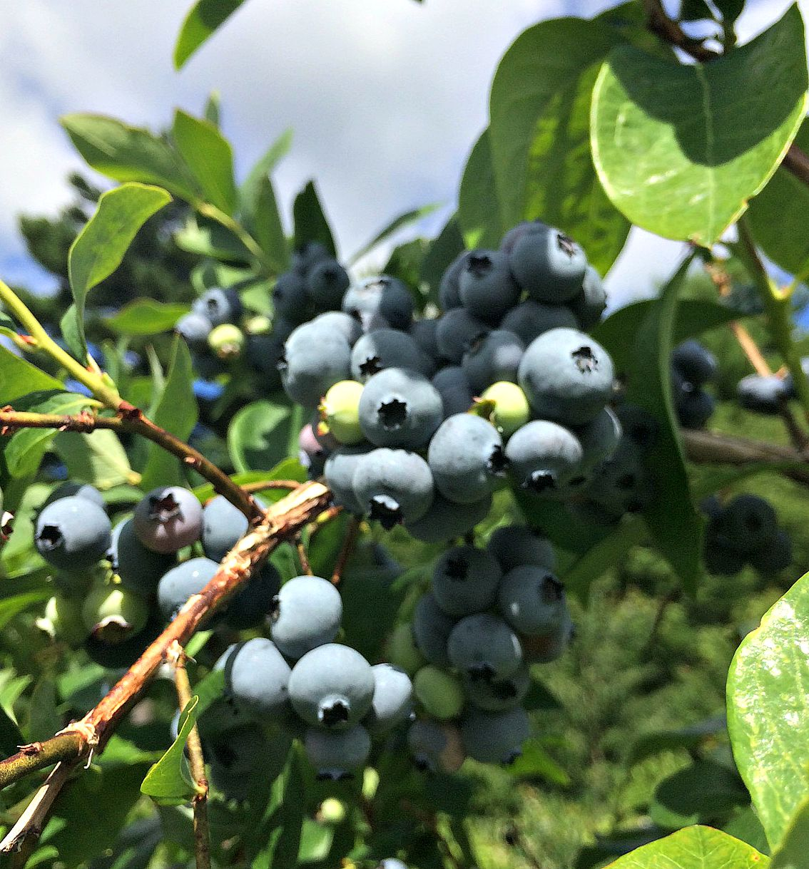 july blueberries