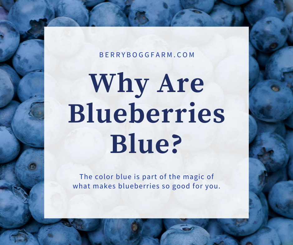 graphic with text why are blueberries blue with a background of a bucket of blueberries closeup